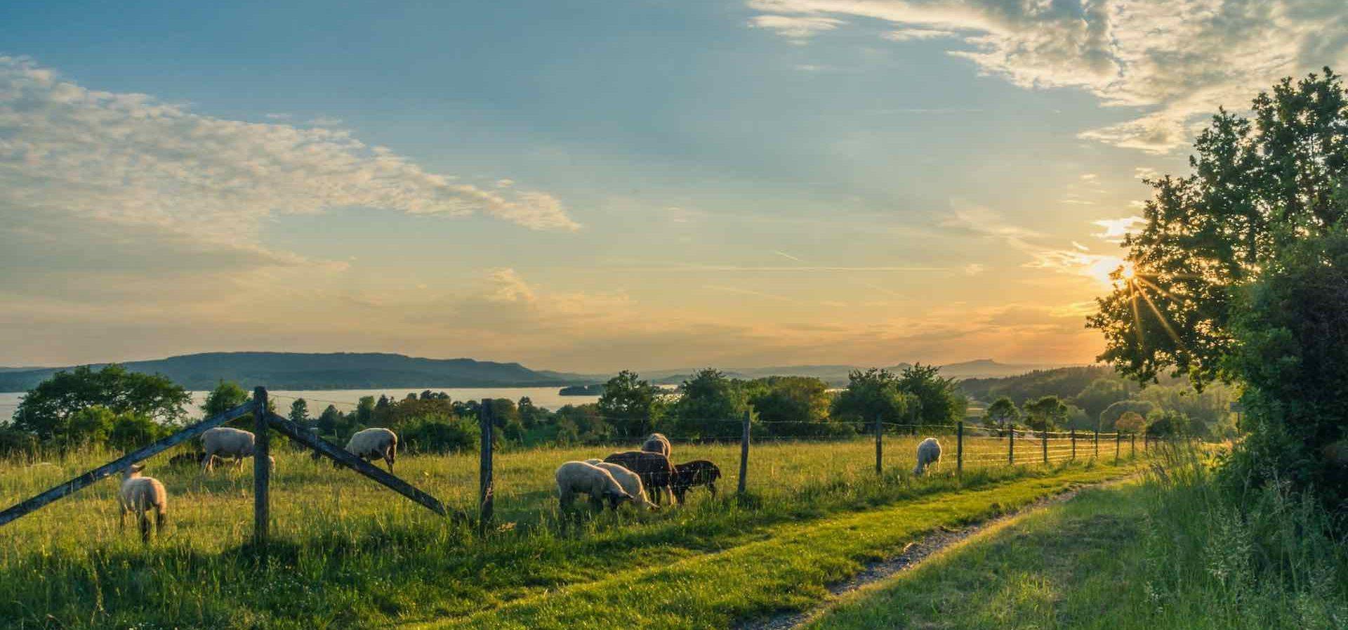paysage et moutons