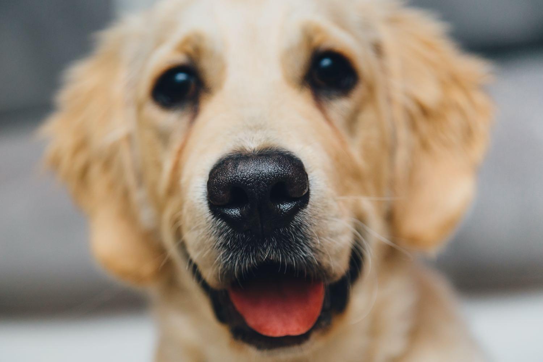 chien golden